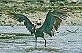 Reddish Egret Canopy Fishing (1 of 1).jpg