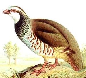 Redleggedpartridge35