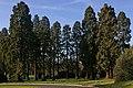 Redwoods, Royal Earlswood Park - geograph.org.uk - 1213290.jpg