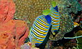 Regal Angelfishes (Pygoplites diacanthus) (8481927232).jpg
