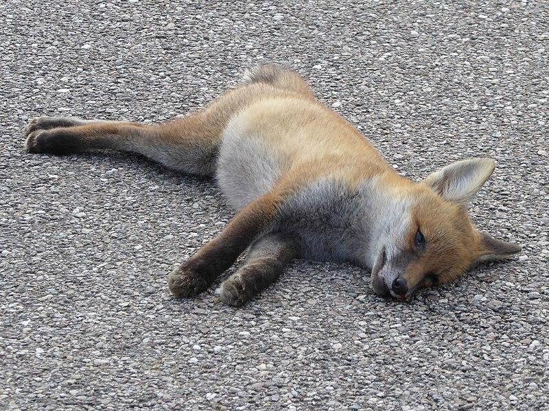 Dead fox laying on a little road in Lorraine.