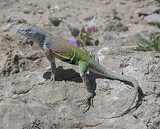 Greater earless lizard - Cophosaurus texanus