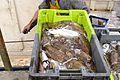 Retour de la pêche du chalutier SACASOUS (23).JPG
