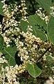 Reynoutria japonica flower (26).jpg