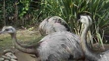 File:Rhea americana drinking water - World of Birds, Cape Town.ogv