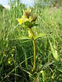Rhinanthus minor sl4.jpg