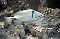 Rhinecanthus assasi at Red Sea Aquarium by Hatem Moushir 2.JPG