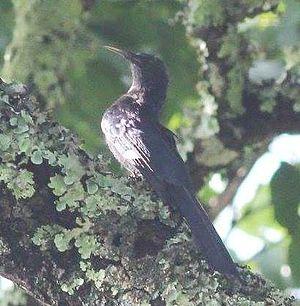 Black scimitarbill - R. a. anchietae in Angola