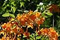 Rhododendron Aromi Sunrise 4zz.jpg
