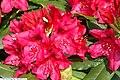 Rhododendron catawbiense Nova Zembla 0zz.jpg