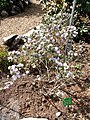Rhododendron lapponicum serie - University of Copenhagen Botanical Garden - DSC07573.JPG