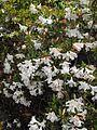 Rhododendronformosum.jpg