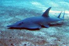 Raie au corps allongé nageant juste au dessus du fond marin lisse, vue de trois-quart face.