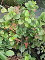 Ribes viburnifolium (13464553163).jpg