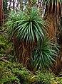 Richea pandanifolia fragment3.jpg