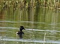 Ringand Ring-necked Duck (20162272978).jpg