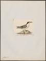 Rissa kotzebui - 1820-1860 - Print - Iconographia Zoologica - Special Collections University of Amsterdam - UBA01 IZ17900306.tif
