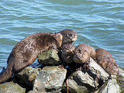 Otters on the riprap at the Richmond Marina in Marina Bay