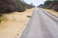 Roadside Leopard (3688072250).jpg