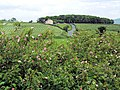 Roadside dog roses - geograph.org.uk - 473335.jpg