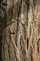 Robinia pseudacacia bark