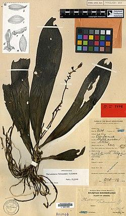 Phalaenopsis robinsonii jjsmith 1917 голотип