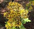 Roldana candicans inflorescencia.jpg