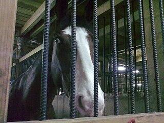 Romanian Sporthorse Romanian breed of horse