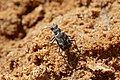 Ropaloteres luridus namaquus (Carabidae- Cicindelinae) (37399891971).jpg