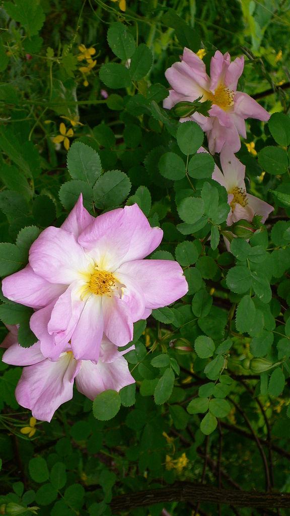 File Rosa 39 Marguerite Hilling 39 D Tail De La Fleur Jardin Des Roses Anciennes