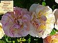 """Rosa """"Aquarell"""" o TANellqua. 03.jpg"""