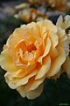 Rosa Amber Queen - Gran Bretaña (11982653603).jpg