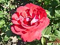 Rosa Liebeszauber.jpg