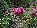Rosa Lovely Fairy 2018-07-10 5582.jpg