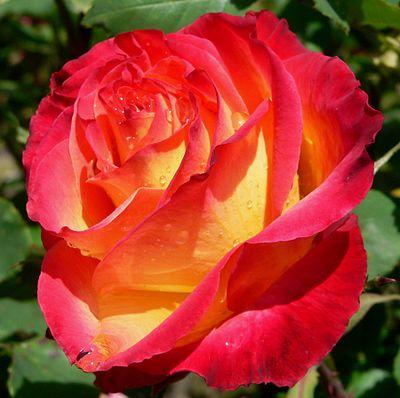 Rosa Perfect Moment 1.jpg