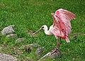 Rosalöffler im Weltvogelpark Walsrode 2H1A8796WI.jpg