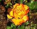 Rose, Botanic Gardens, Belfast - geograph.org.uk - 1480321.jpg