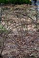 Rose, Branchs grow - Flickr - nekonomania.jpg
