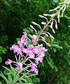 Rosebay Willow Herb. Epilobium angustifolium. - Flickr - gailhampshire.jpg