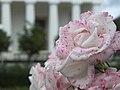 Rosen vor dem Theseustempel.jpg