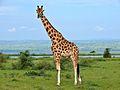Rothschild's Giraffe (Giraffa camelopardalis rothschildi) male (7068054987).jpg
