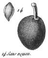 Rozier - Cours d'agriculture, tome 8, pl. 34, prune sans noyau.png
