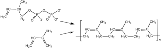 Synthetic rubber - Chemical structure of cis-polyisoprene, the main constituent of natural rubber.  Synthetic cis-polyisoprene and natural cis-polyisoprene are derived from different precursors by different chemical pathways.