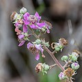 Rubus fruticosus in Tarn (1).jpg