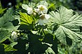 Rubus parviflorus (5088036058).jpg