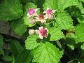 Rubus parvifolius 3.JPG