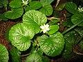 Rubus pectinellus 1.JPG