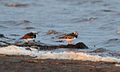 Ruddy Turnstones (14047829848).jpg