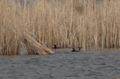Ruddy ducks Whitewater Lake.png