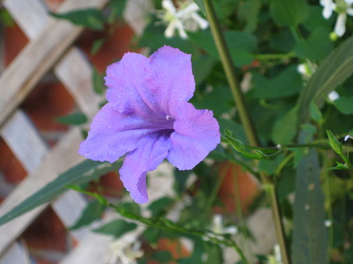 Mexican Petunias Fill The Bill